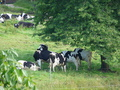 vaches -  - vaches