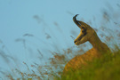 Chamois Photo de Pascal Gadroy -